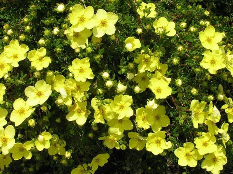 Лапчатка кустарниковая уход и выращивание полезные свойства 4
